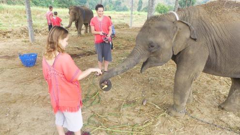 Großer Kopf, kleine Ohren: Daran erkennt man asiatische Elefanten.