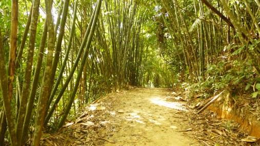 Bambus so weit das Auge reicht: Die Stangen reichen bis zu 30 Meter...