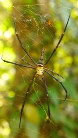 Wildes Getier: Spinnen so groß wie Handflächen.